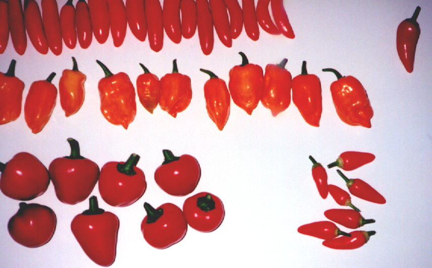 Chile peppers (63KB Image)