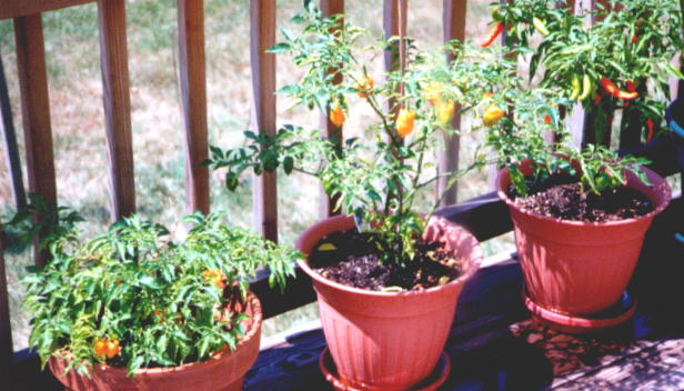 Some of our 1998 peppers in pots (57KB Image)