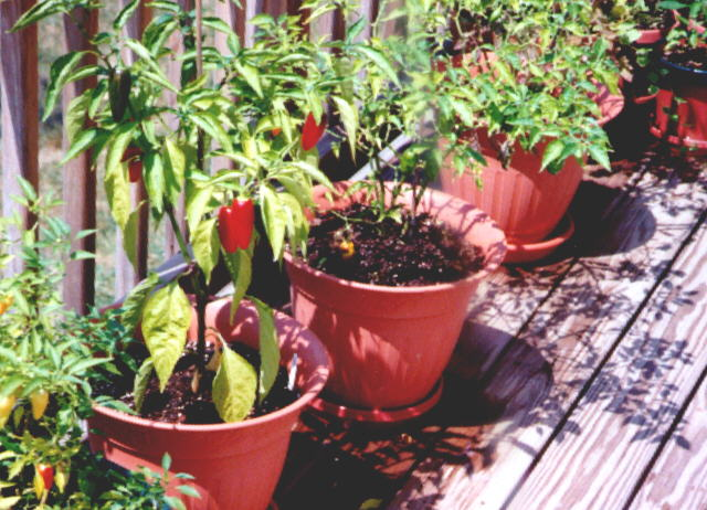 Some more peppers in pots (77KB Image)